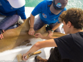 Dylan lends a hand adding a tag to a shark. The tag has a unique ID number to help track the growth and movement of these majestic animals.