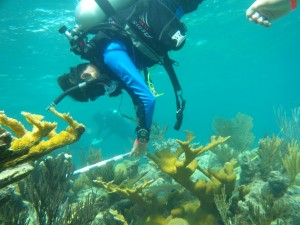 A SCUBAnaut measures Elkhorn coral in the Florida Keys.