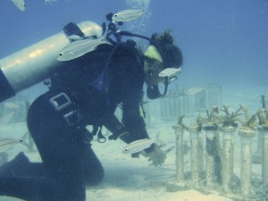 "A SCUBAnaut slips fragments of Elkhorn coral for transplant onto coral ""trees."""