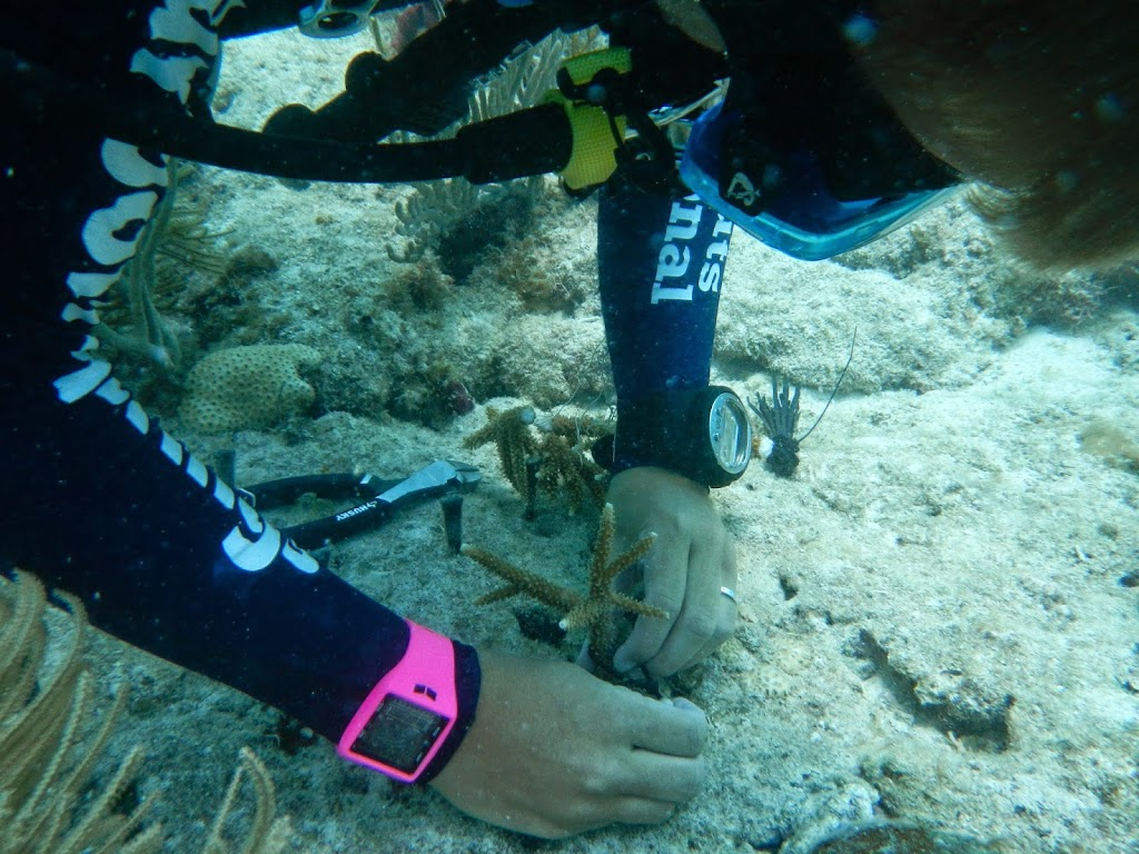 Learning how to Transplant Coral at Mote Marine Laboratory – Summerland Key