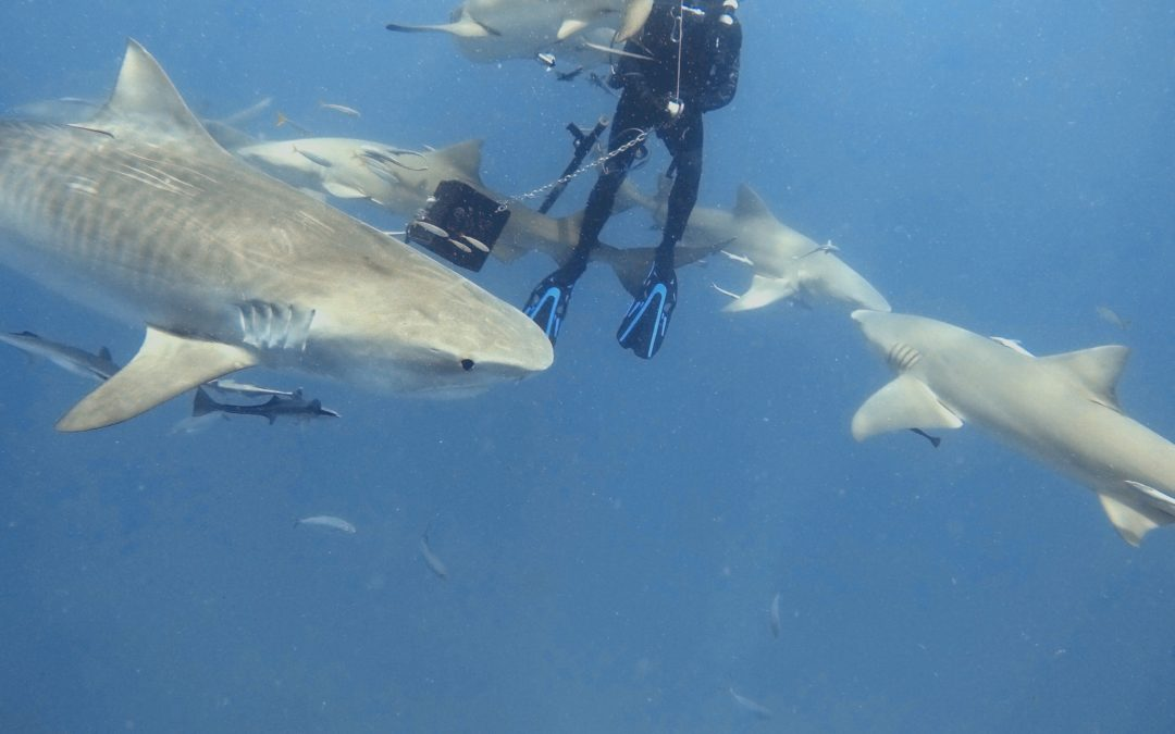Our New Friend Jenny (The Tiger Shark)